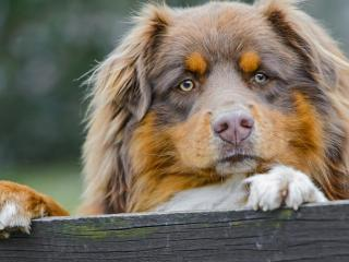 обои Внимательный взгляд пушистой собаки фото