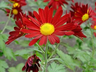обои Красно-жёлтые хризантемы фото
