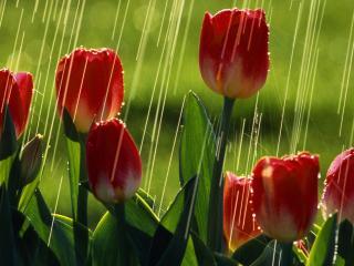 обои Тюльпаны под дождем фото