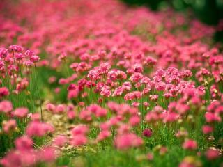 обои Цветущее алое поле фото