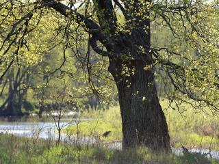 обои Старый дуб у Неруссы фото