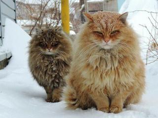 обои Суровые деревенские коты фото