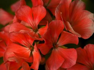 обои Цветочки красные фото