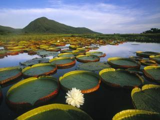 обои Горное озеро с белыми лотосами фото
