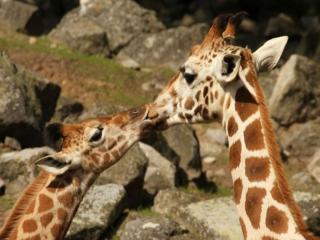 обои для рабочего стола: Жирафкин поцелуй