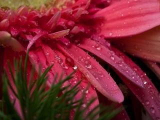 обои Маленькие капли на лепестках хризантемы фото