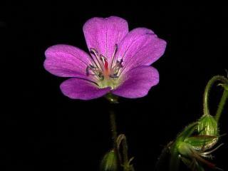 обои Сиреневый цветок фото