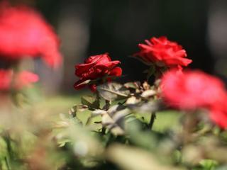 обои Куст красных роз фото