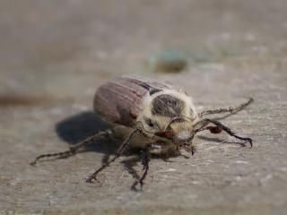 обои Мохнатый жук фото
