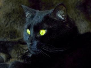 обои Чёрный кот с жёлтыми глазами фото