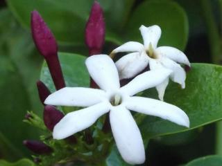 обои Шестилистный цветок жасмина фото