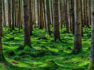 обои Хвойный замшелый лес фото