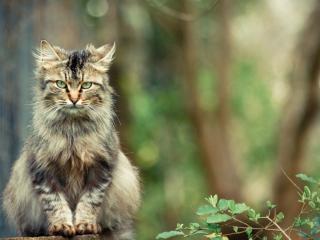 обои Лохматый серьезный кот фото