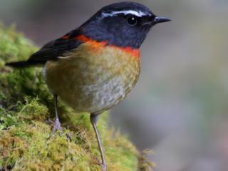 обои Птичка с красной шейкой фото