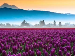 обои Утреннее поле тюльпанов фото