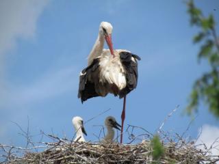 обои Аистиное гнездо фото