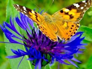 обои Бабочка на васильке фото