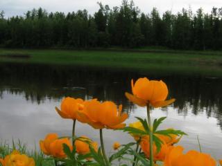 обои Цветы Енисея фото