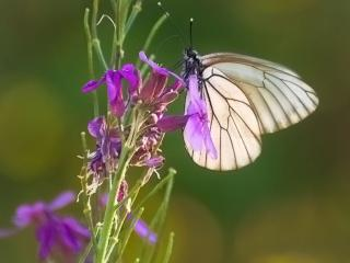 обои Бабочка на иван-чае фото