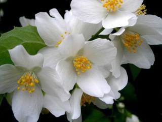 обои Белый цвет жасмина фото