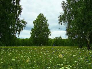 обои Берёзы и цветы фото