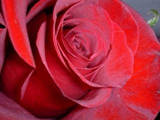 обои Бархат розы красной фото