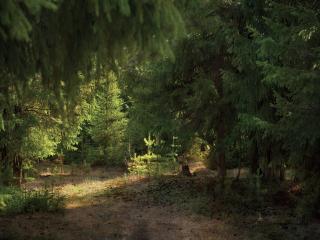 обои для рабочего стола: Лето в еловом лесу