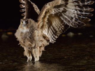 обои Мощные крылья совы фото