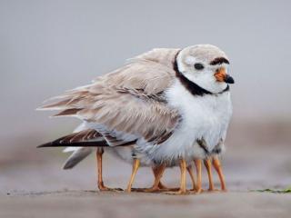 обои Птица греет птенцов фото