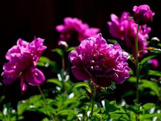 обои Розовый пионовый куст фото