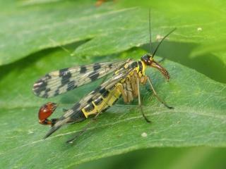 обои Скорпионница,   любопытное насекомое фото