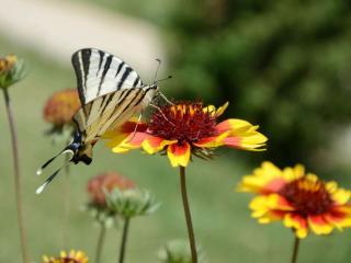 обои Бабочка с чёрными полосками фото