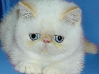 обои Белый котёнок - Пушистик фото