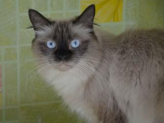 обои Голубоглазый строгий кот фото