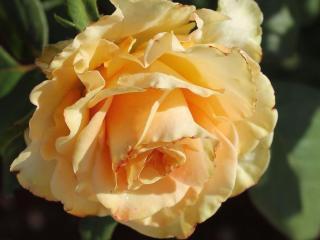 обои Закат кремовой розы фото