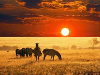 обои Зебры на фоне заходящего солнца фото