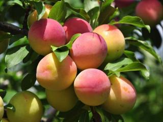 обои Зреют июльские персики фото