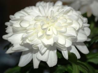обои Белая большая хризантема фото