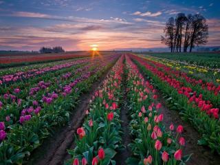обои Тюльпановое пробуждение фото