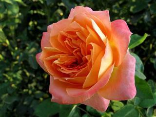 обои Роза яркая и солнечная фото