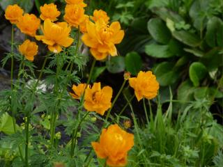обои Цветы Каракольских озёр. Алтай фото