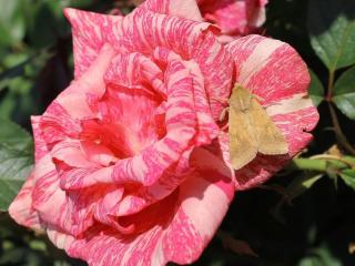 обои Шепчет розе мотылёк фото