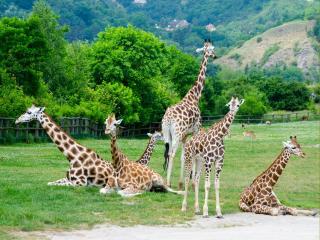 обои Жирафья семья в пражском зоопарке