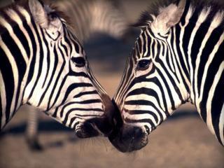 обои Зебры полосатые фото