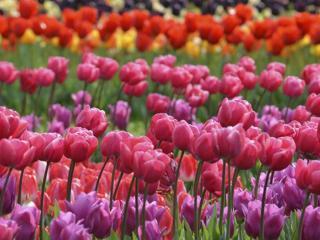 обои Тюльпаны разного цвета фото