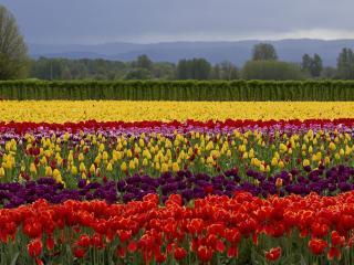 обои Контрастное поле тюльпанов фото