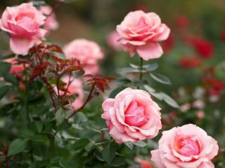 обои Куст розовой розы фото