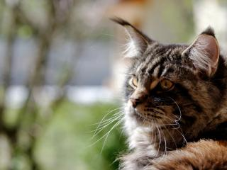 обои Серьезный пушистый кот фото
