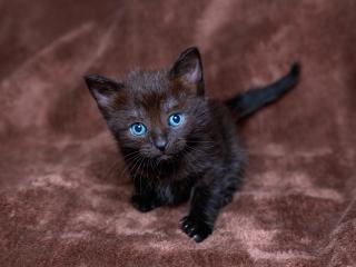 обои Черный голубоглазый котенок фото