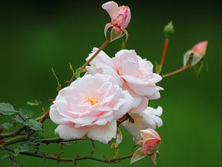 обои Воздушное цветение фото